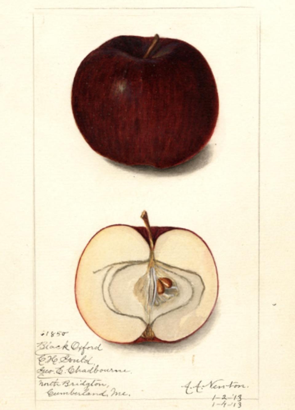 Historische Abbildung eines dunkelvioletten und eines aufgeschnittenen Apfels; USDA