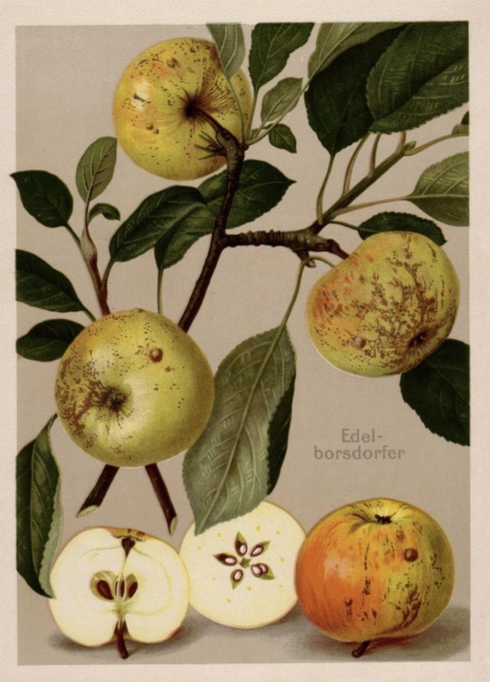 Historische Abbildung eines Zweigs mit drei Äpfeln, sowie einem aufgeschnittenen Apfel; BUND Lemgo Obstsortendatenbank