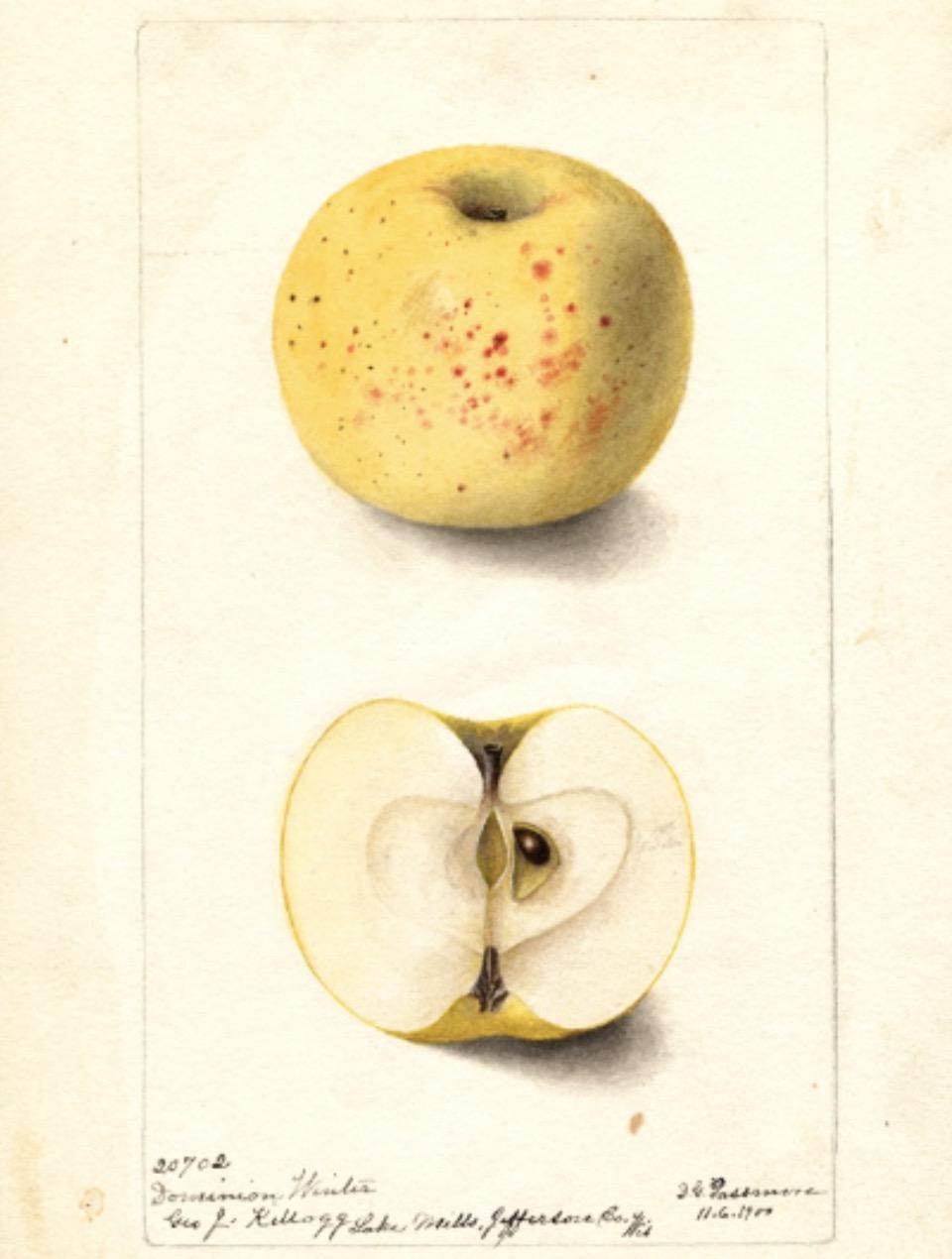 Historische Abbildung eines gelben Apfels mit rötlichen Punkten und Flecken und eines aufgeschnittenen Apfels; USDA