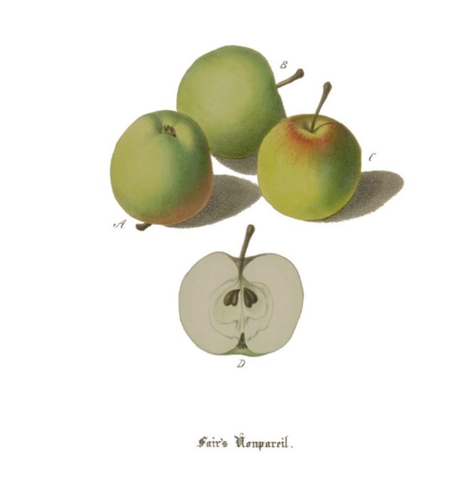 Historische Abbildung dreier grüner und eines aufgeschnittenen Apfels; BUND Lemgo Obstsortendatenbank