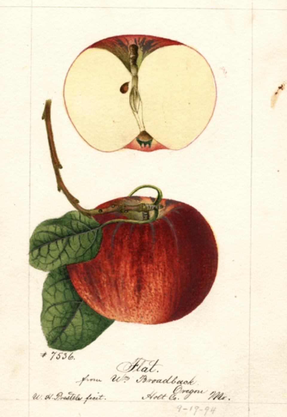 Historische Abbildung eines roten Apfels am Stiel mit Blättern und eines aufgeschnittenen Apfels; USDA