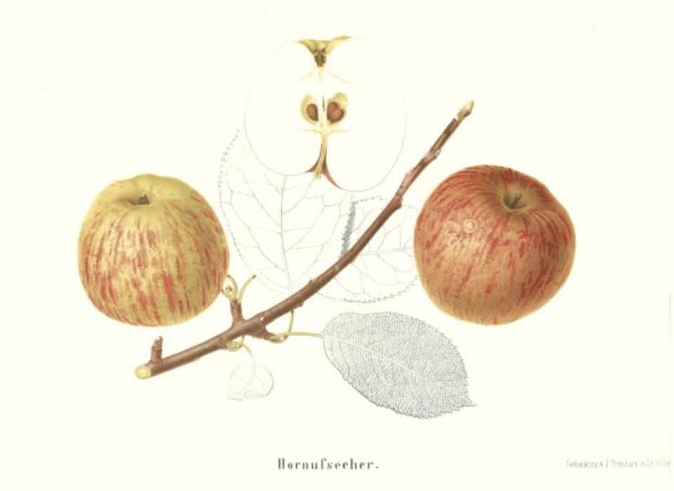 Historische Abbildung zweier gelblich-rötlicher Äpfel mit Ast und Blätter und eines aufgeschnittenen Apfels; BUND Lemgo Obstsortendatenbank