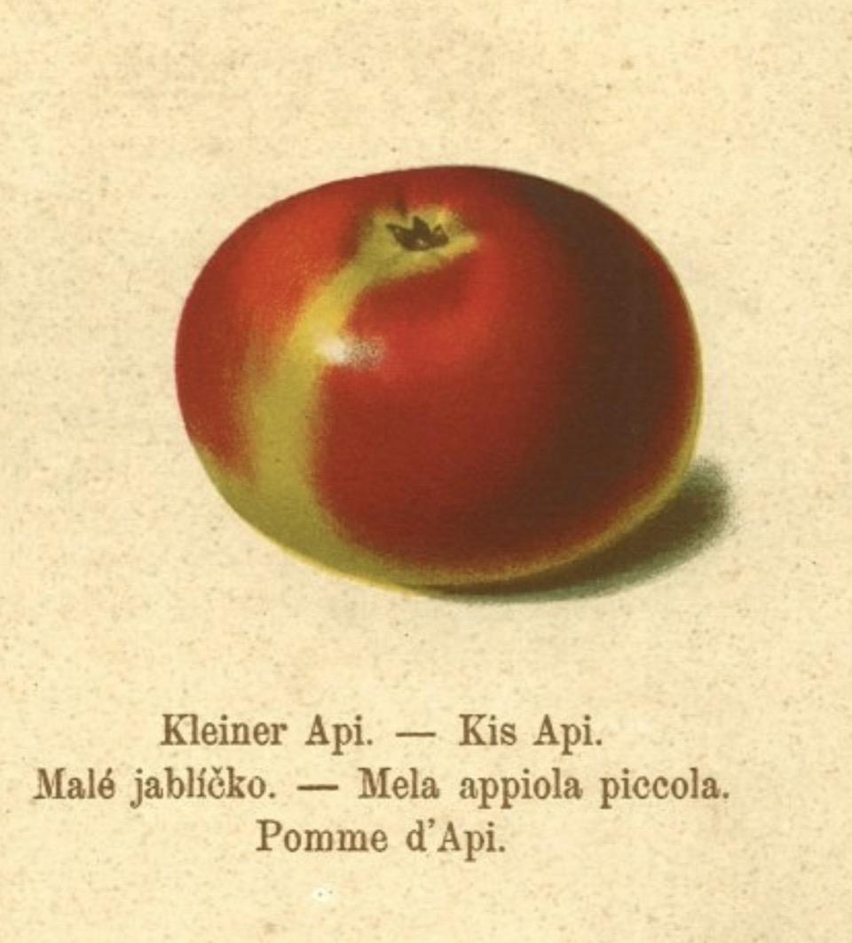 Historische Abbildung eines kleinen roten Apfels, darunter stehend fünf verschiedene Namen;  BUND Lemgo Obstsortendatenbank