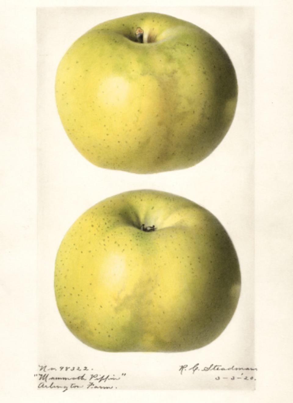 Historische Abbildung zweier grün-gelblicher Äpfel; USDA