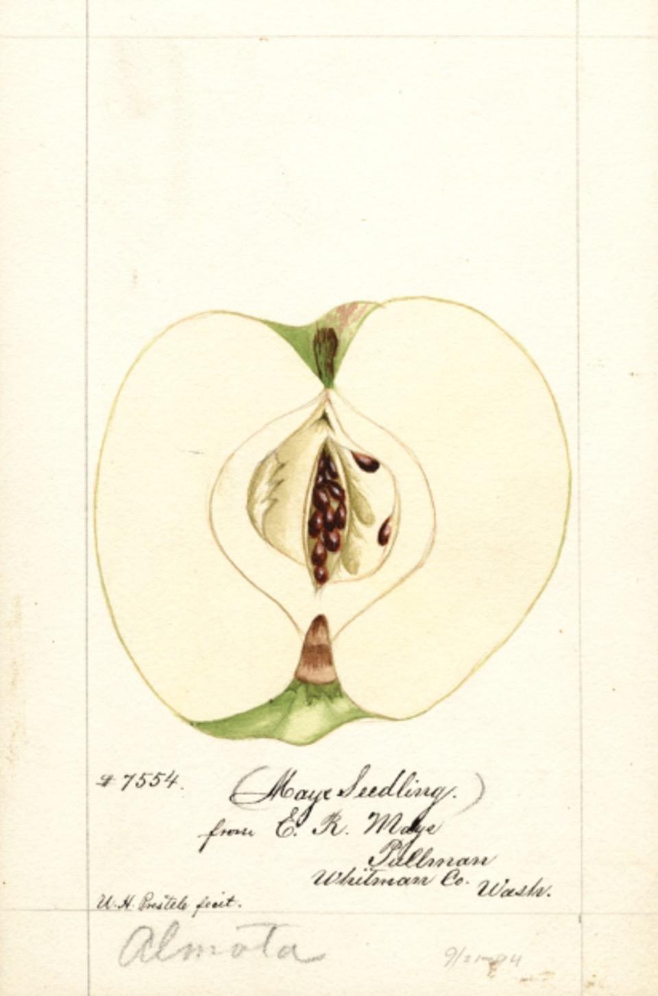 Historische Abbildung eines aufgeschnittenen Apfels; USDA