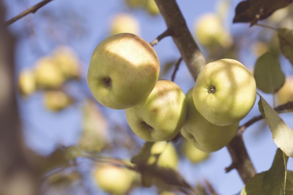 Blick in einen Apfelbaum, gelb-rötliche Äpfel hängen an Ästen