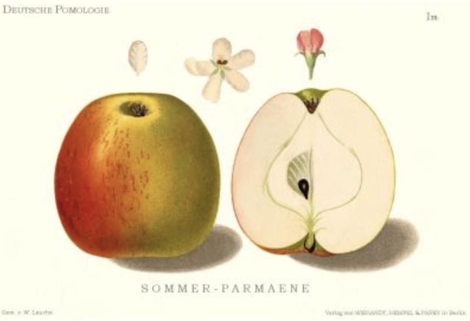 Historische Abbildung eines gelblich-roten und eines aufgeschnittenen Apfels sowie Blüten;  BUND Lemgo Obstsortendatenbank