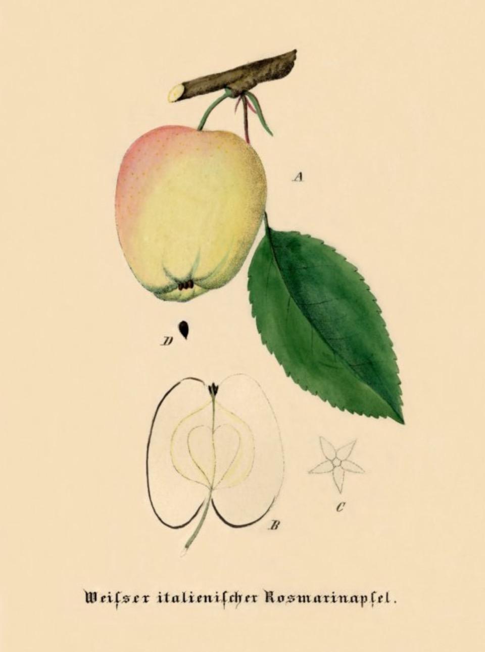 Historische Abbildung eines gelblich-rötlichen am Zweig und eines aufgeschnittenen Apfels; BUND Lemgo