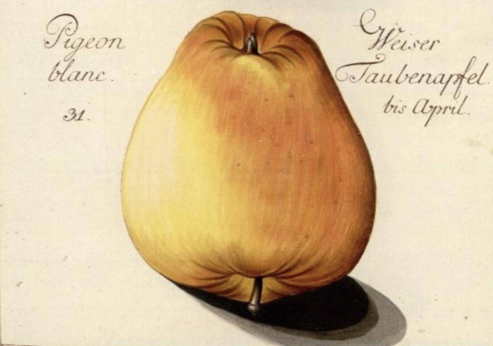 Historische Abbildung eines gelblichen Apfels; BUND Lemgo Obstsortendatenbank