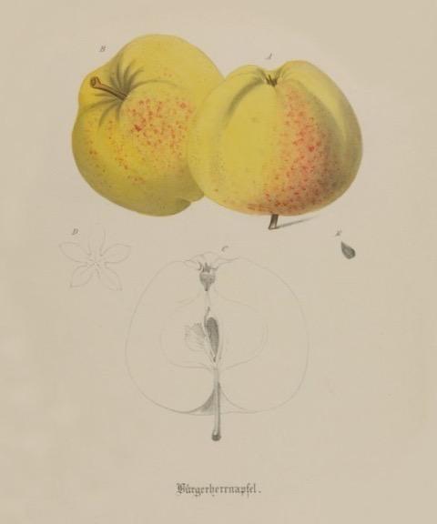 Historische Abbildung zweier gelb-rötlicher und eines aufgeschnittenen Apfels; BUND Lemgo Obstsortendatenbank