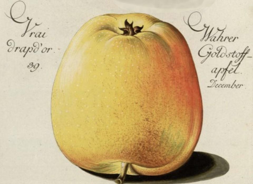 Historische Abbildung eines gelb-rötlichen  Apfels; Bund Lemgo
