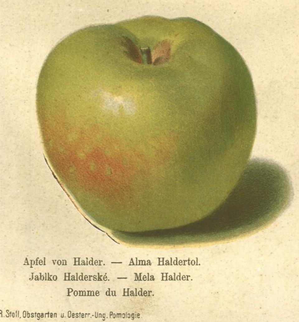 Historische Abbildung eines grün-rötlichen Apfels; BUND Lemgo Obstsortendatenbank