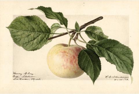 Historische Abbildung eines gelblich-rötlichen Apfels am Zweig mit Blättern; USDA