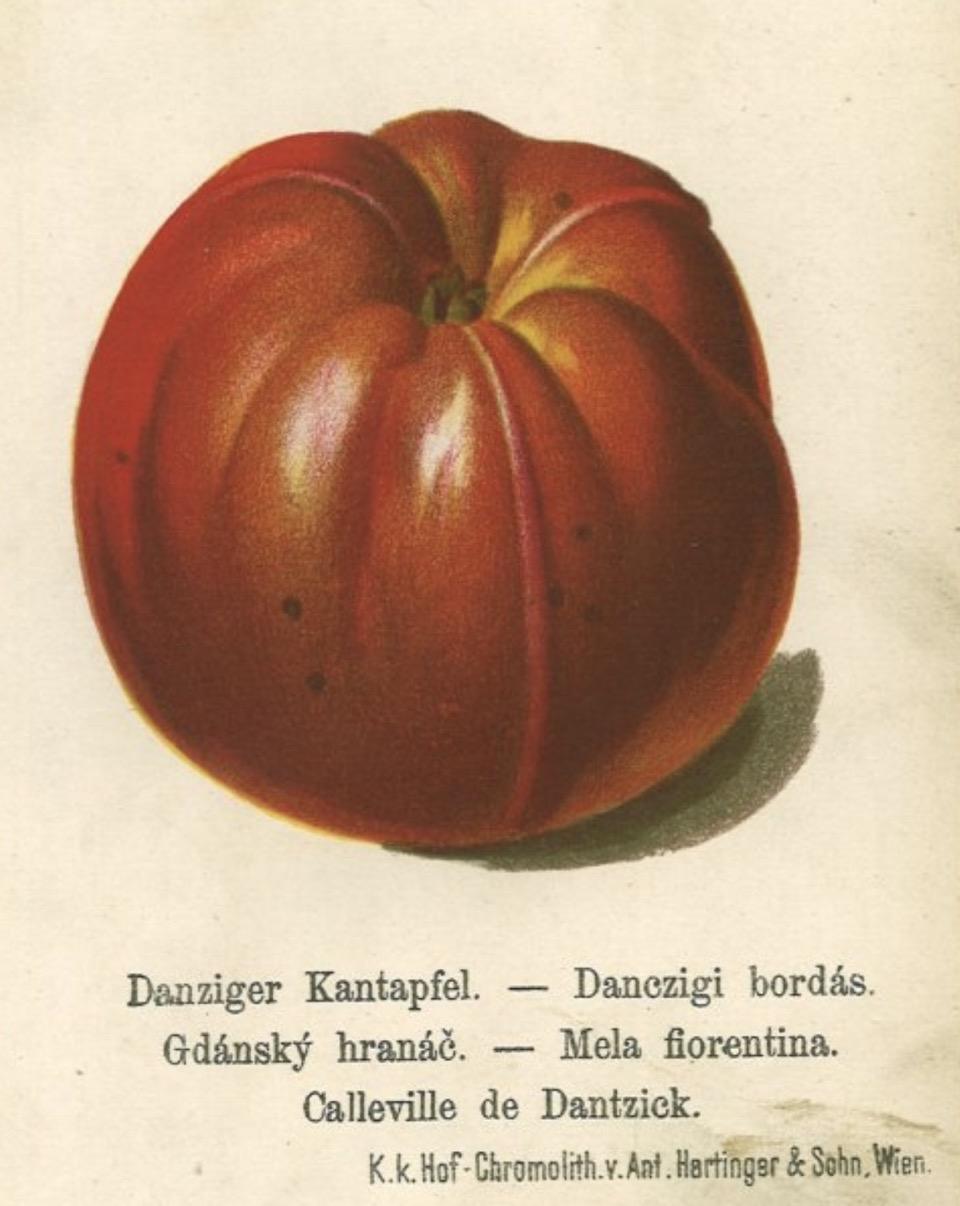 Historische Abbildung eines dunkelroten Apfels mit ausgeprägten Erhebungen; BUND Lemgo Obstsortendatenbank