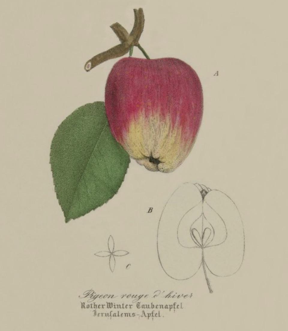 Historische Abbildung eines rotgelben Apfels am Zweig mit Blatt und eines aufgeschnittenen Apfels; BUND Lemgo Obstsortendatenbank