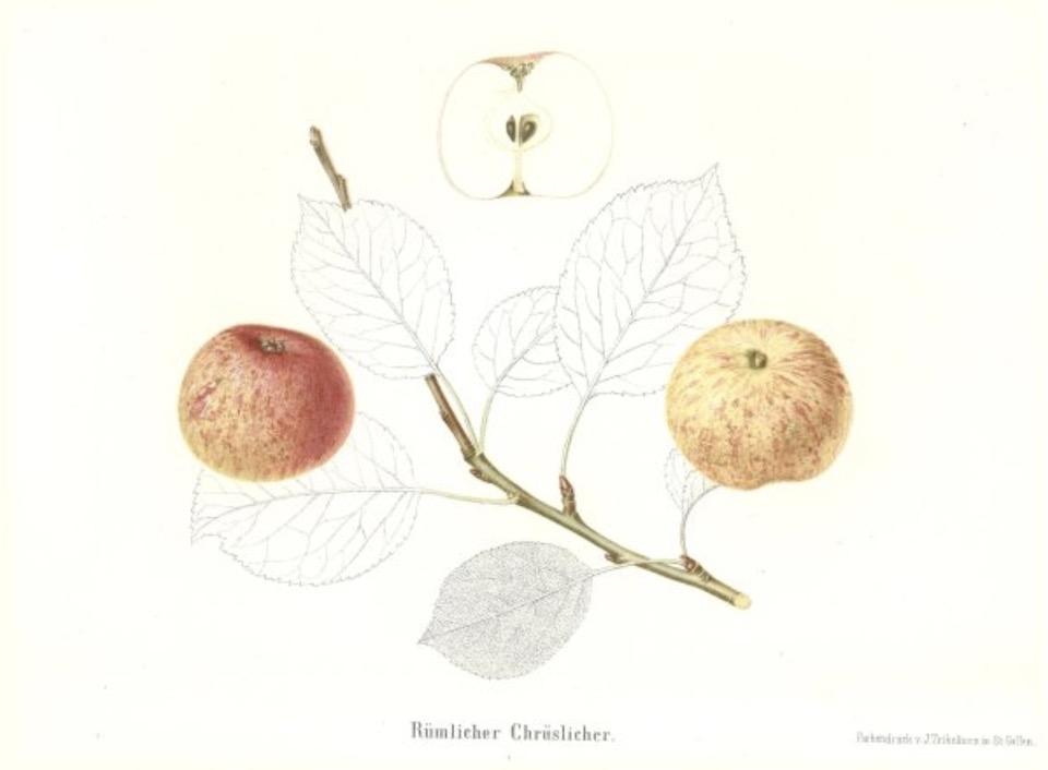 Historische Abbildung zweier gelblich-rötlicher Äpfel am Zweig und eines aufgeschnittenen Apfels; BUND Lemgo Obstsortendatenbank