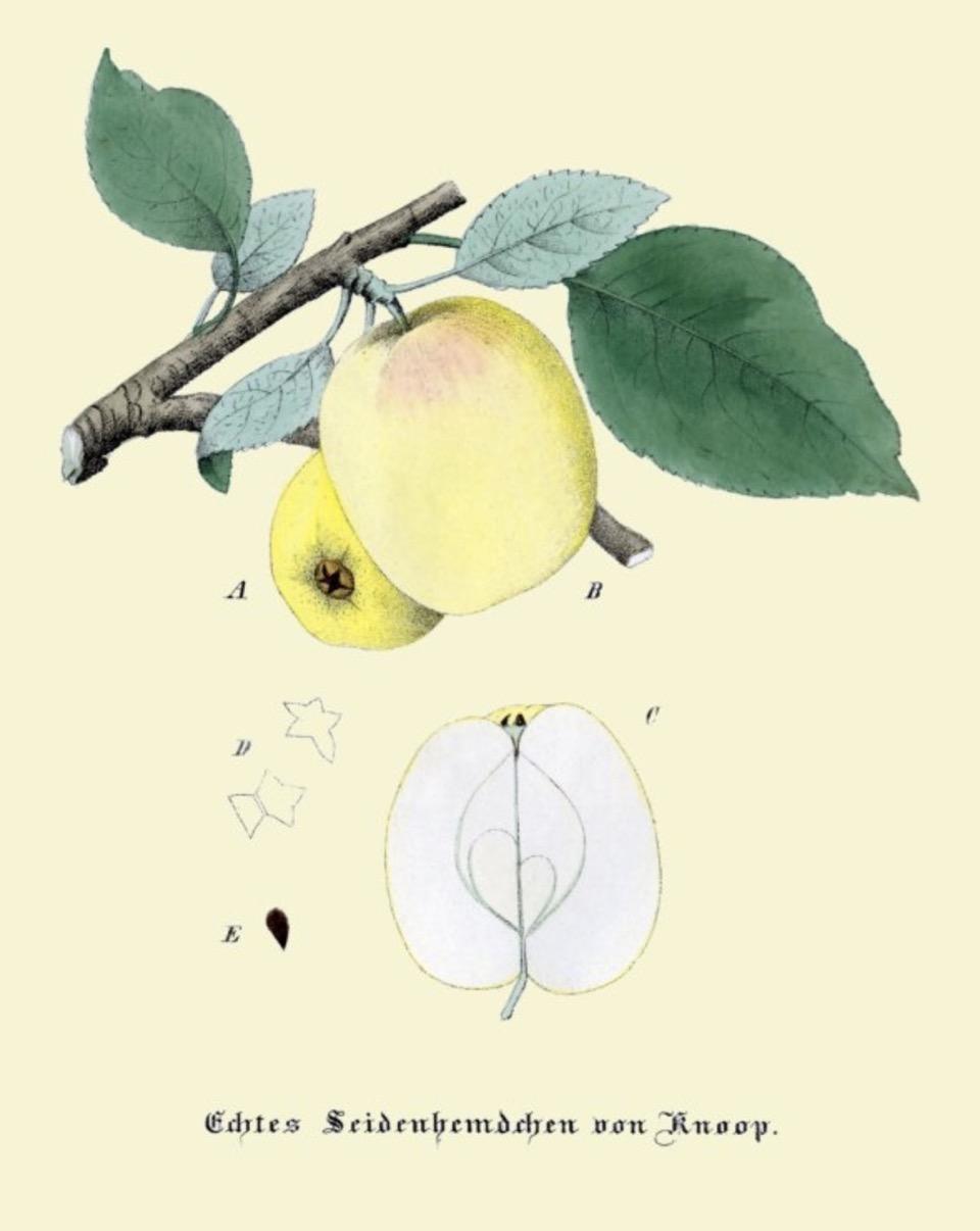 Historische Abbildung zweier gelblich-grüner Äpfel und eines aufgeschnittenen Apfels; BUND Lemgo Obstsortendatenbank