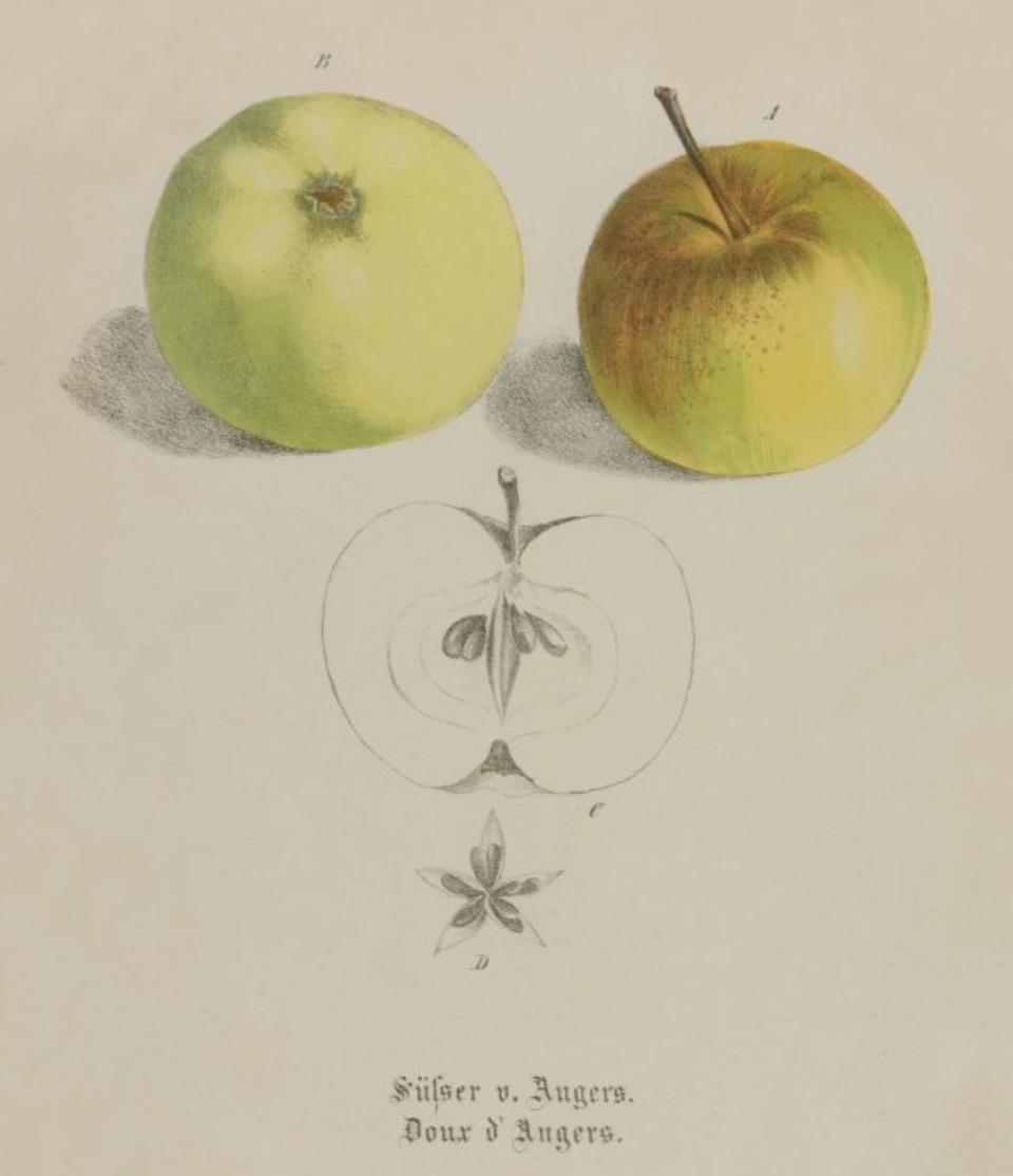 Historische Abbildung zweier grün-rötlicher und eines aufgeschnittenen Apfels; BUND Lemgo Obstsortendatenbank