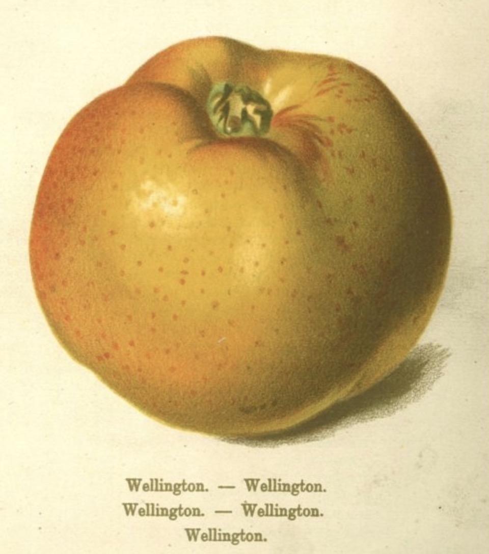 Historische Abbildung eines gelb-rötlicher Apfel;  BUND Lemgo Obstsortendatenbank