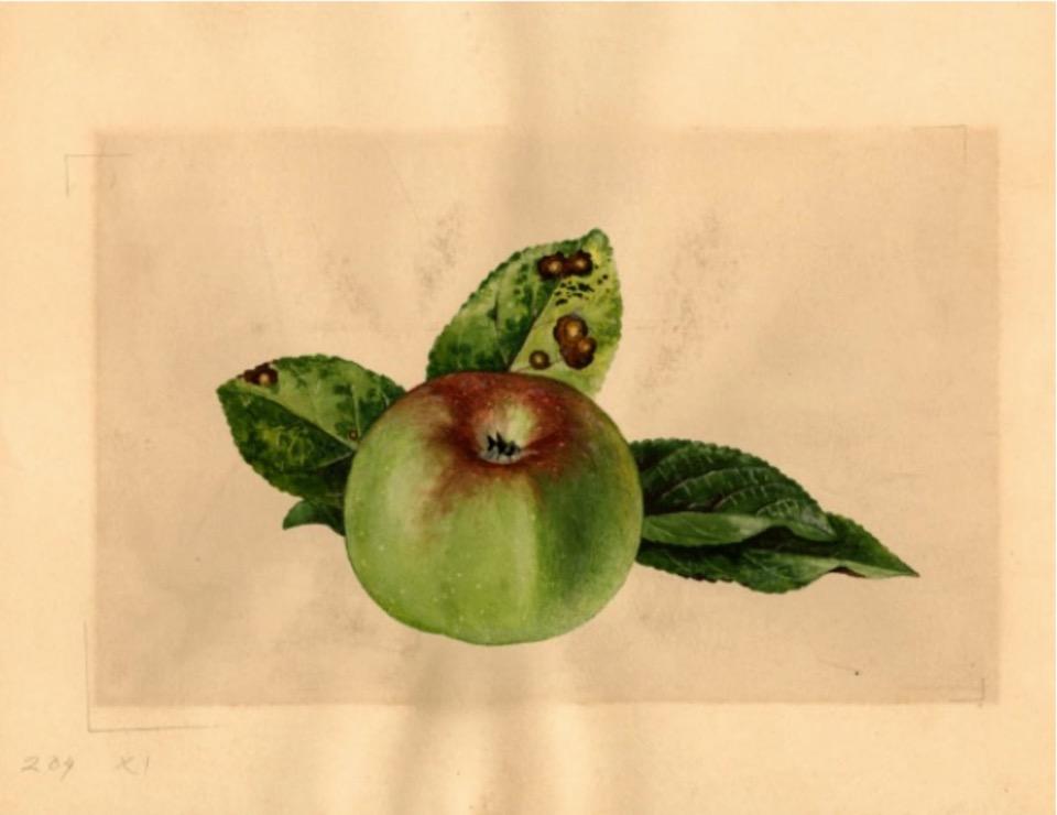 Historische Abbildung eines grünen Apfels mit Rost am Kelch, dahinter drei Blätter; USDA