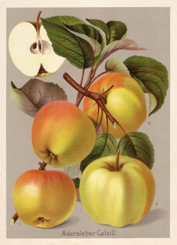 Historische Abbildung von gelblich-rötlichen Äpfeln am Ast mit Blättern, und ein aufgeschnittener Apfel; Obstsortendatenbakn BUND Lemgo
