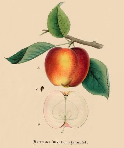 Historische Abbildung eines rot-gelblichen und eines aufgeschnittenen Apfels; bund lemgo