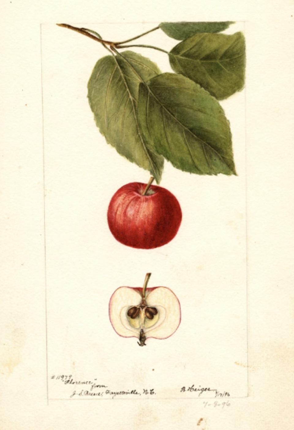 Historische Abbildung eines roten Apfels mit Zweig und Blättern und eines aufgeschnittenen Apfels; USDA