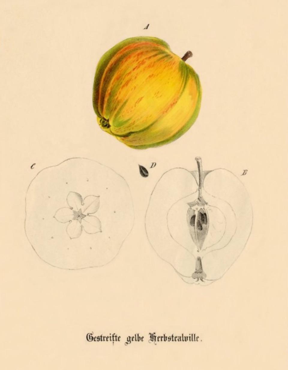 Historische Abbildung eines gelb-rötlichen und eines aufgeschnittenen Apfels; USDABUND Lemgo Obstsortendatenbank