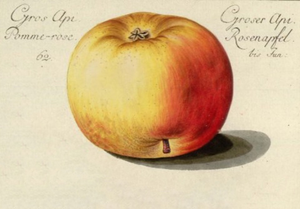 Historische Abbildung eines gelb-roten Apfels, links und rechts davon eine Beschriftung; BUND Lemgo Obstsortendatenbank