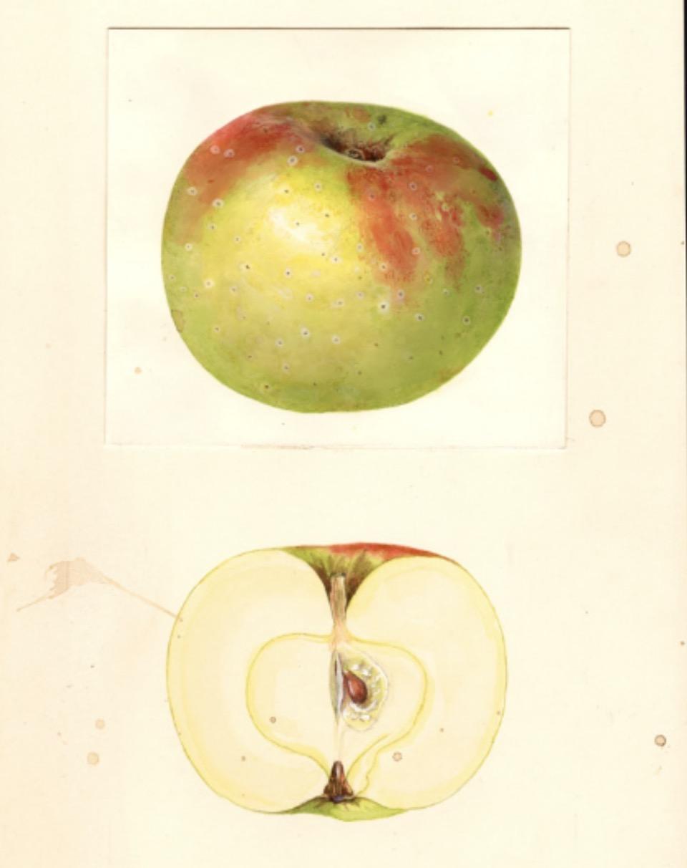 Historische Abbildung eines grün-rötlichen und eines aufgeschnittenen Apfels; USDA