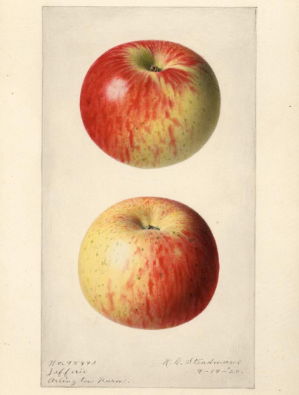 Historische Abbildung eines gelblich-rötlichen Apfels aus zwei Ansichten; USDA