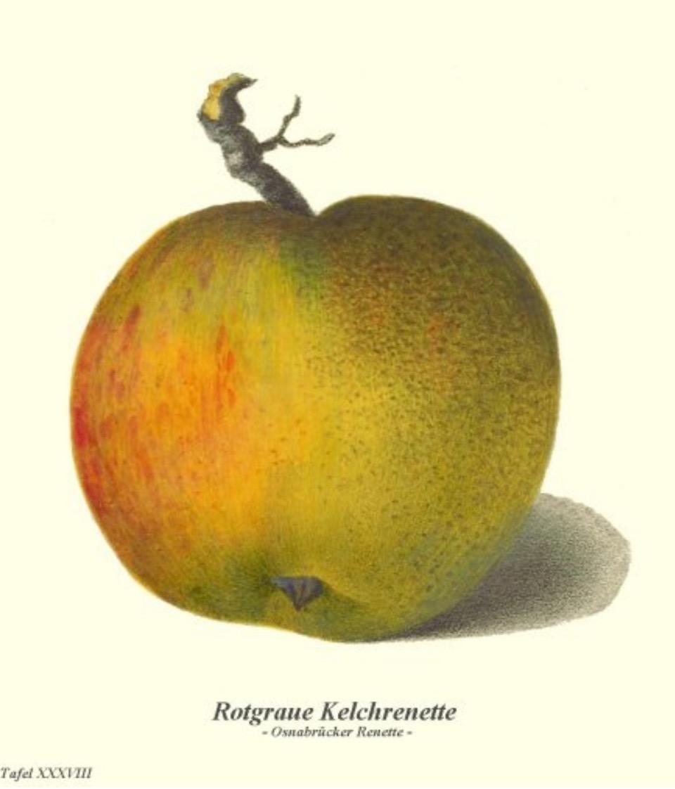 Historische Abbildung eines rötlich-grünen Apfels;  BUND Lemgo Obstsortendatenbank