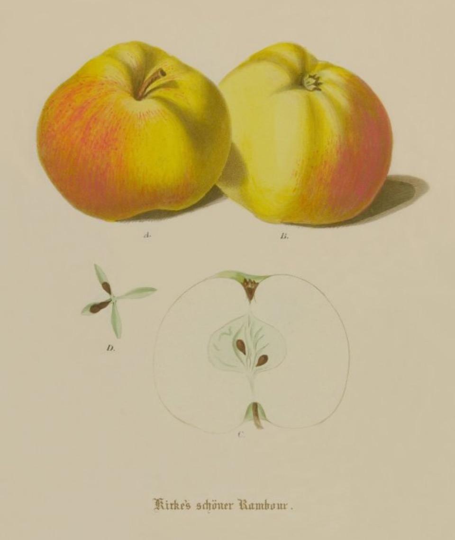 Historische Abbildung zweier gelblich-rötlicher Äpfel und eines aufgeschnittenen Apfels;  BUND Lemgo Obstsortendatenbank