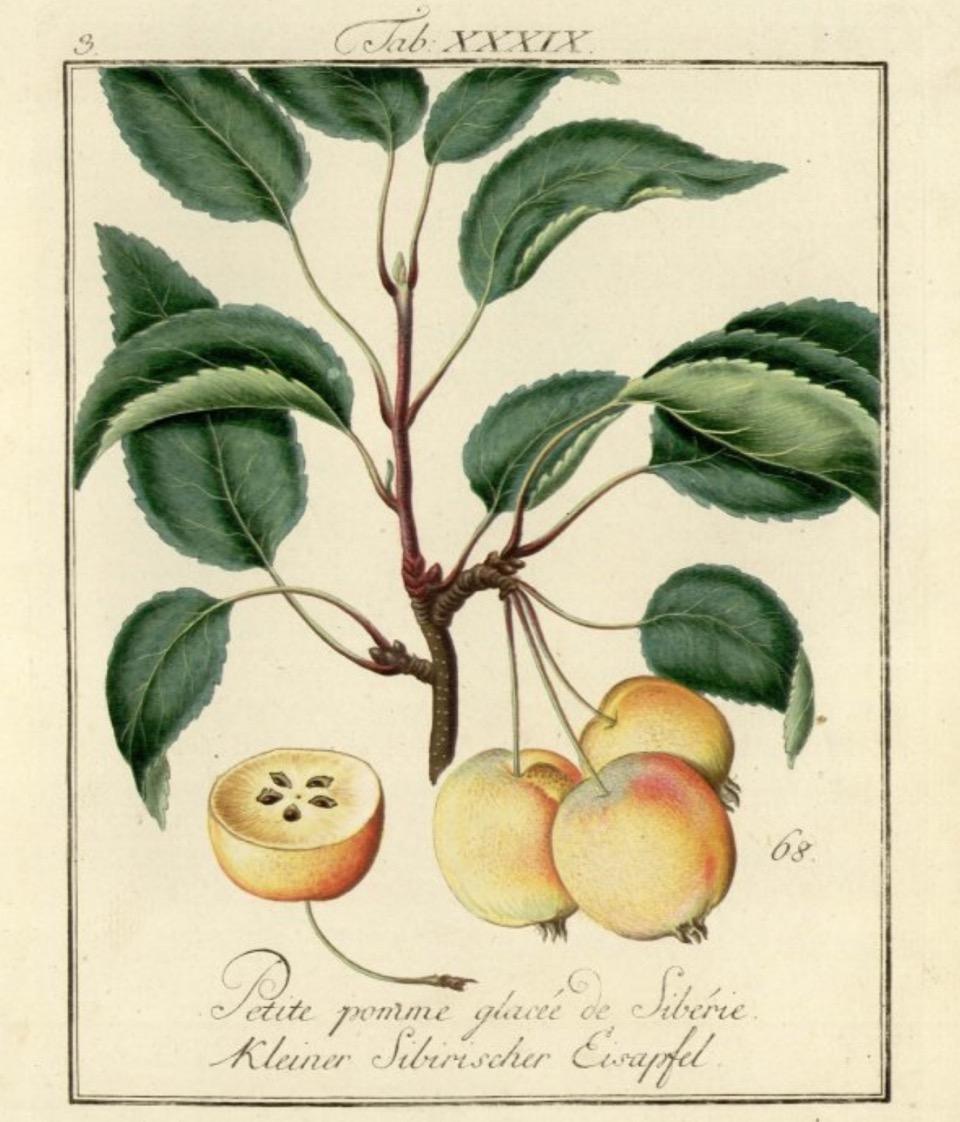 Historische Abbildung mehrerer gelb-rötlicher Äpfel an einem Zweig mit Blättern und eines aufgeschnittenen Apfels; Bund Lemgo
