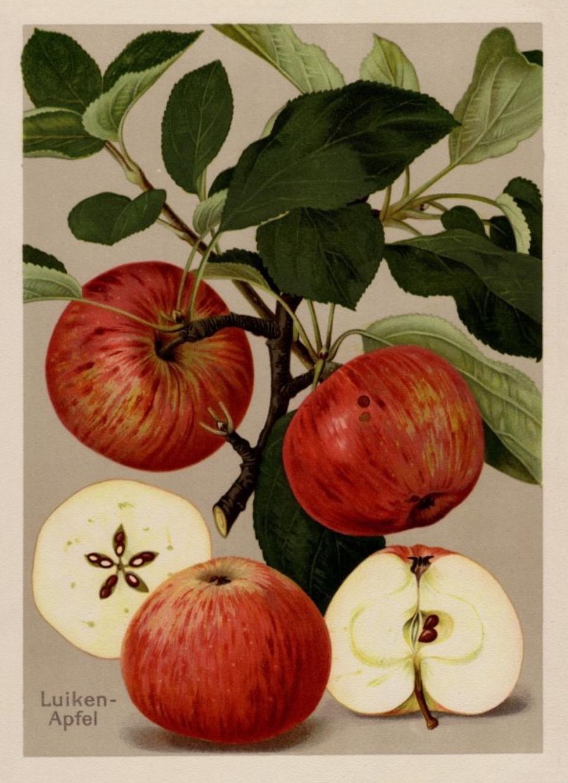 Historische Abbildung von roten Äpfeln am Zweig mit Blättern und eine, aufgeschnittenen Apfel; BUND Lemgo Obstsortendatenbank