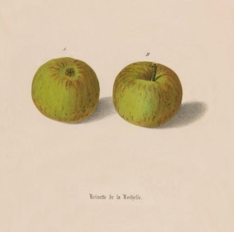 Historische Abbildung  zweier grüner Äpfel, die dünne rötliche Streifen zeigen; BUND Lemgo Obstsortendatenbank