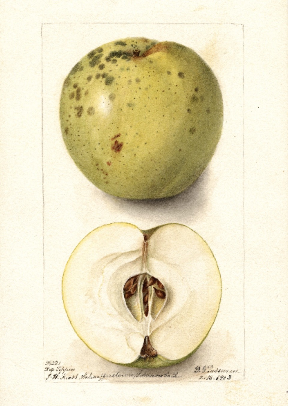 Historische Abbildung eines grünlichen und eines aufgeschnittenen Apfels; USDA
