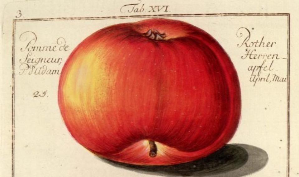 Historische Abbildung eines abgeplatteten roten Apfels; BUND Lemgo Obstsortendatenbank