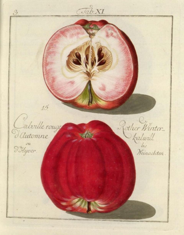 Historische Abbildung eines roten und eines aufgeschnittenen Apfels;  BUND Lemgo Obstsortendatenbank