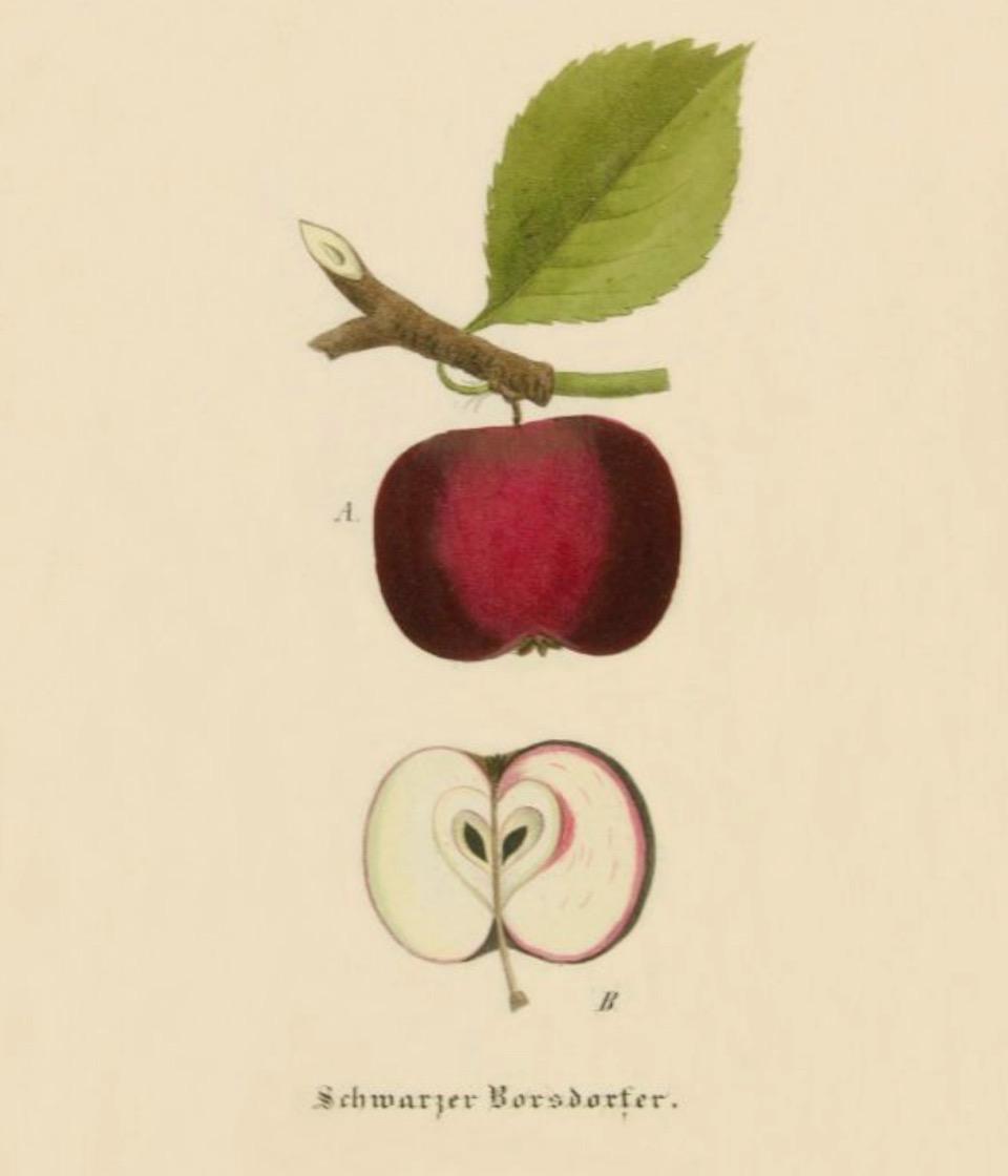 Historische Abbildung eines roten Apfels am Zweig mit Blatt und eines aufgeschnittenen Apfels; BUND Lemgo Obstsortendatenbank