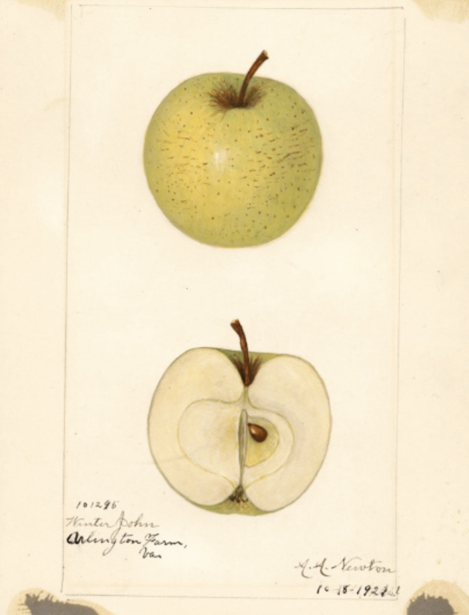Historische Abbildung eines grün-gelblichen und eines aufgeschnittenen Apfels; USDA